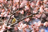Kirschblüte in Japan, ©JNTO