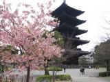 Kirschblüte vor dem Toji-Tempel in Kyoto, ©JNTO