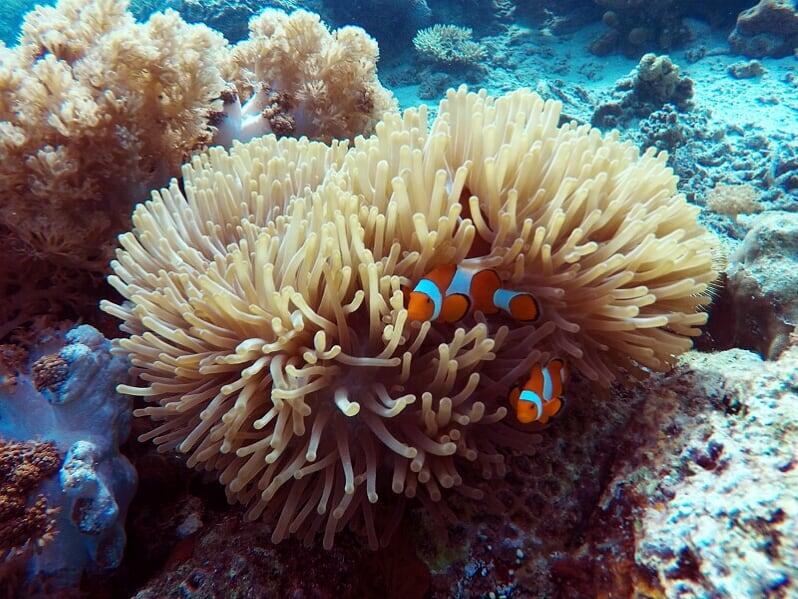 Zwei Anemonenfische in einer Anemone