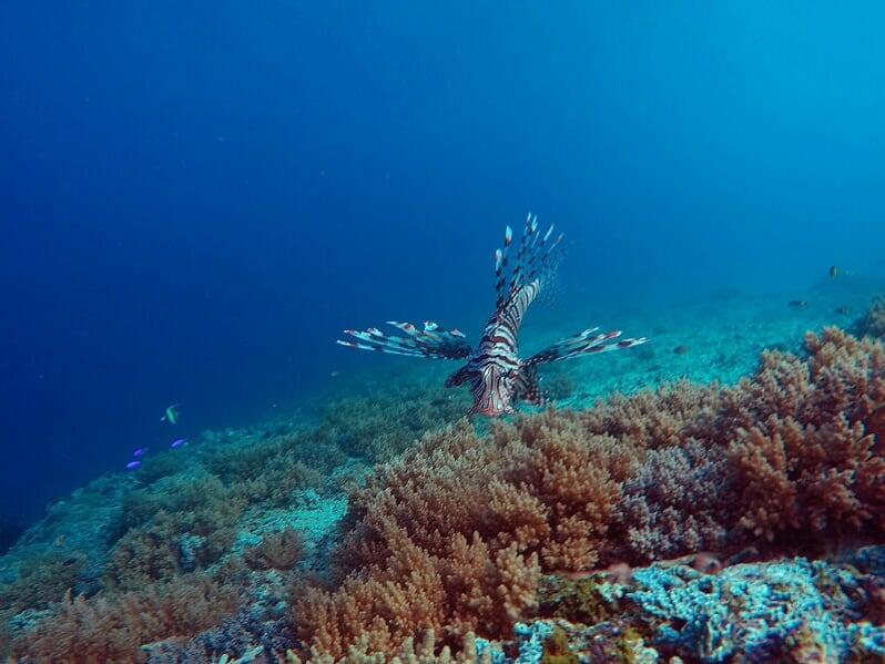 Rot-weißer Feuerfisch vor Korallen