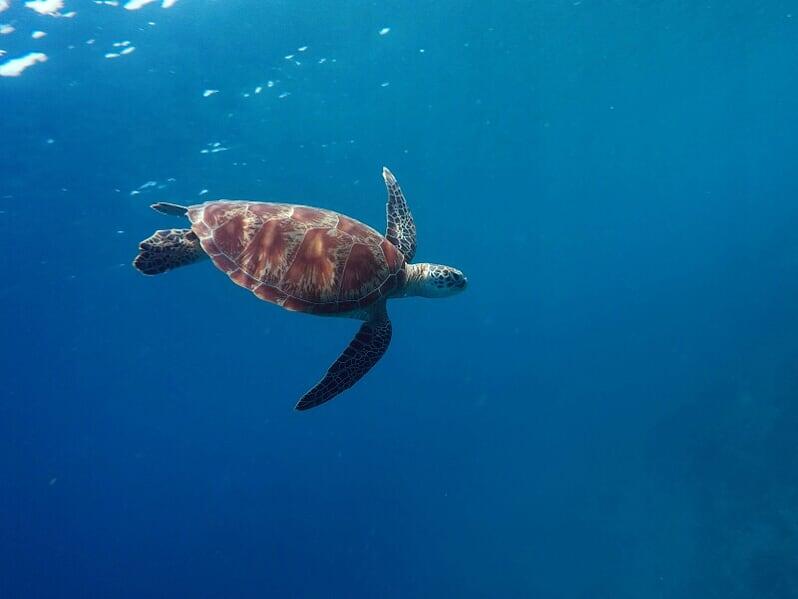 Grüne Schildkröte schwimmt im Meer vor Gili Trawangan