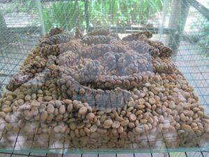 Ausgeschiedene Bohnen in Balis Ort Ubud werden zu Kopi Luwak Kaffee verarbeitet