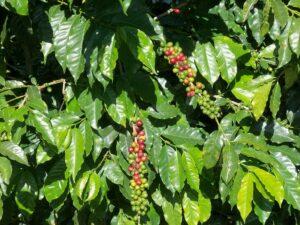 Kaffeekirschen am Baum