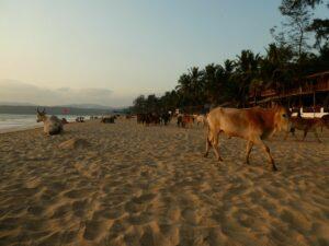 Kühe am Agonda Beach, Indien